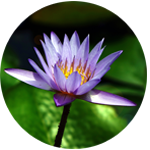 Buddhist siddhi herbal therapy