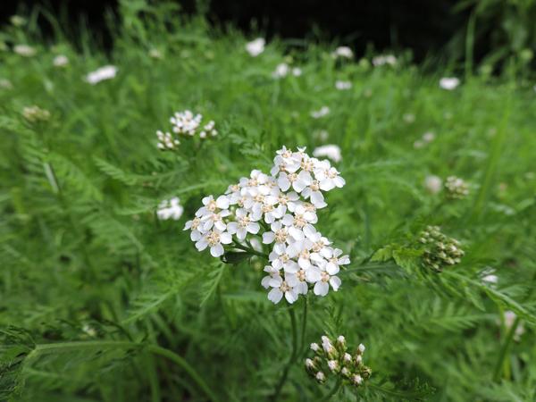 flu herbs yarrow