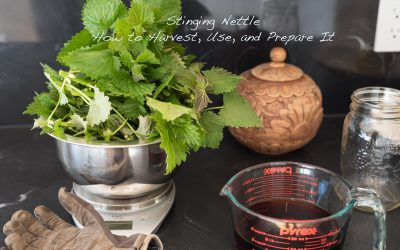Springtime Stinging Nettle – Everything You Wanted to Know About Harvesting, Usage, and Preparation