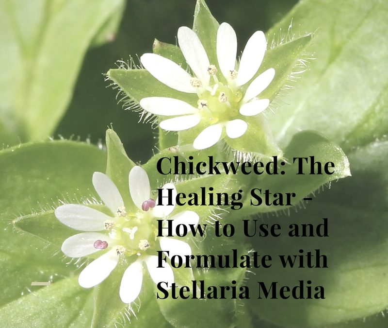 Chickweed: The Healing Star – How to Use and Formulate with Stellaria Media