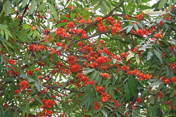 astringent herbs - ashoka