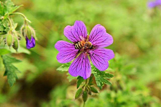astringent herbs - wild geranium
