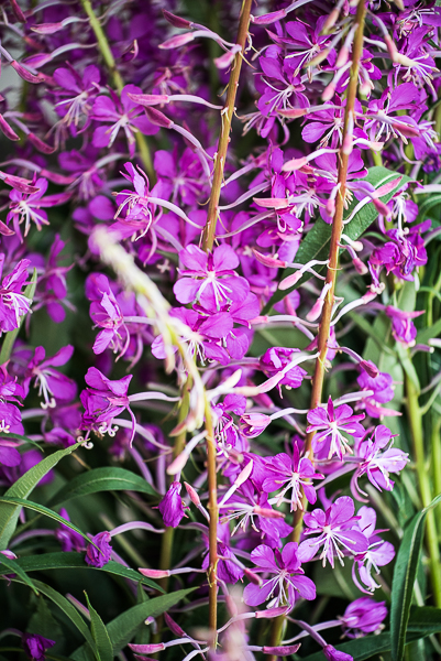 astringent herbs - fireweed